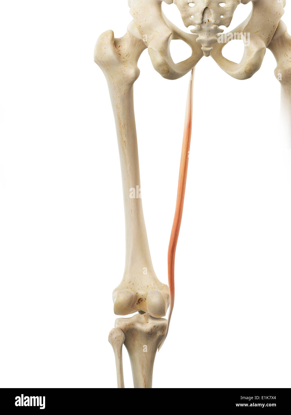 Human Gracilis Muscle Computer Artwork Stock Photo 69879436 Alamy