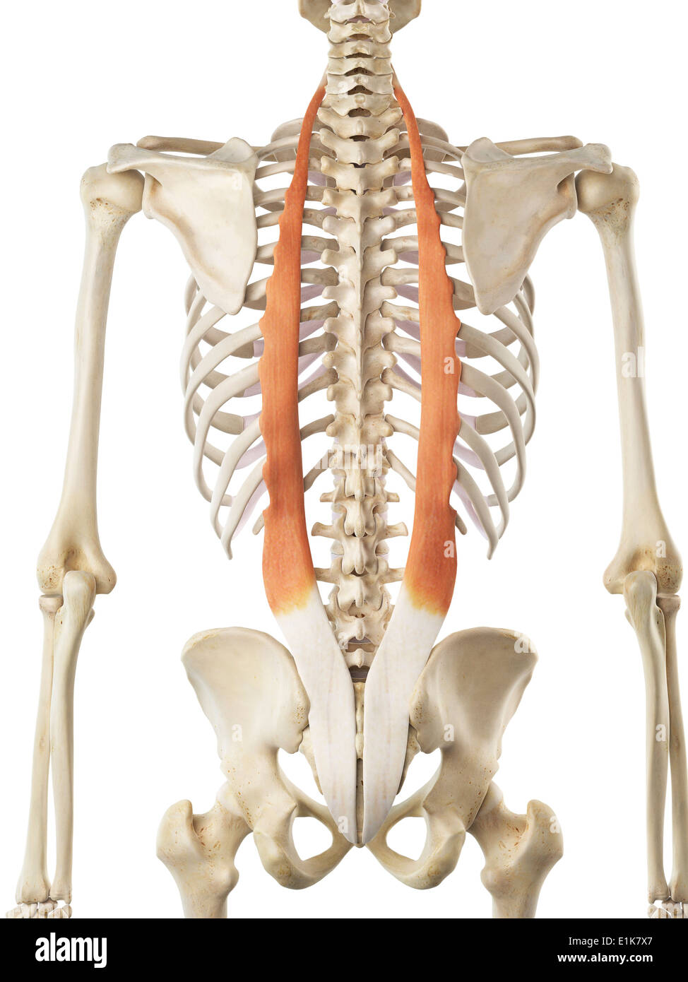 human iliocostalis muscle computer artwork stock photo 69879439 alamy
