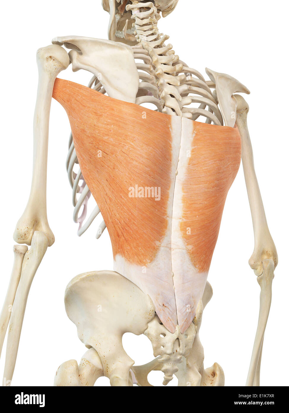 Human latissimus dorsi muscles computer artwork Stock Photo ...