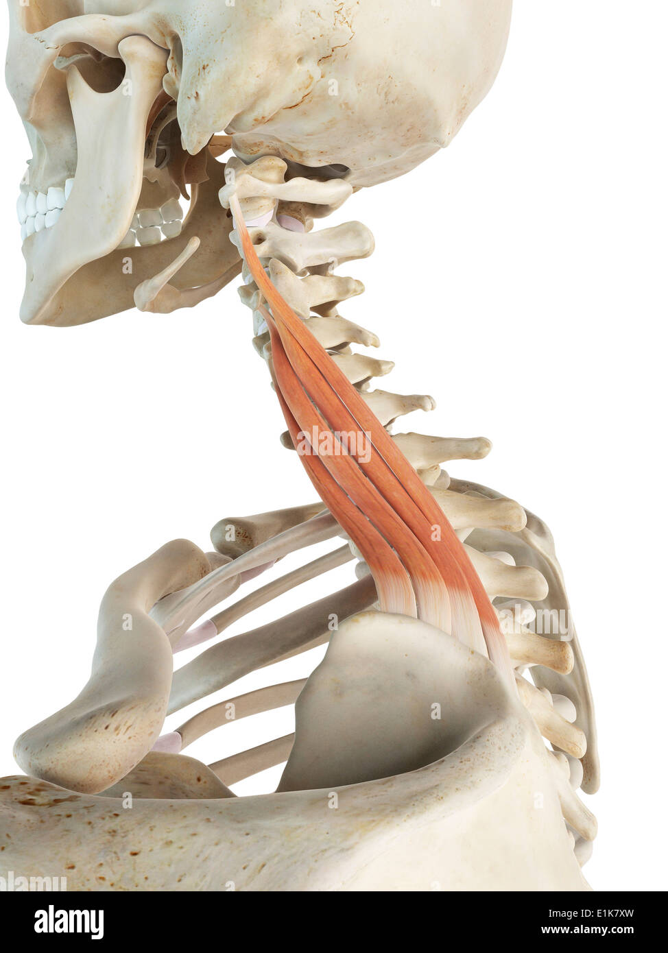 Human levator scapulae muscles computer artwork Stock Photo ...
