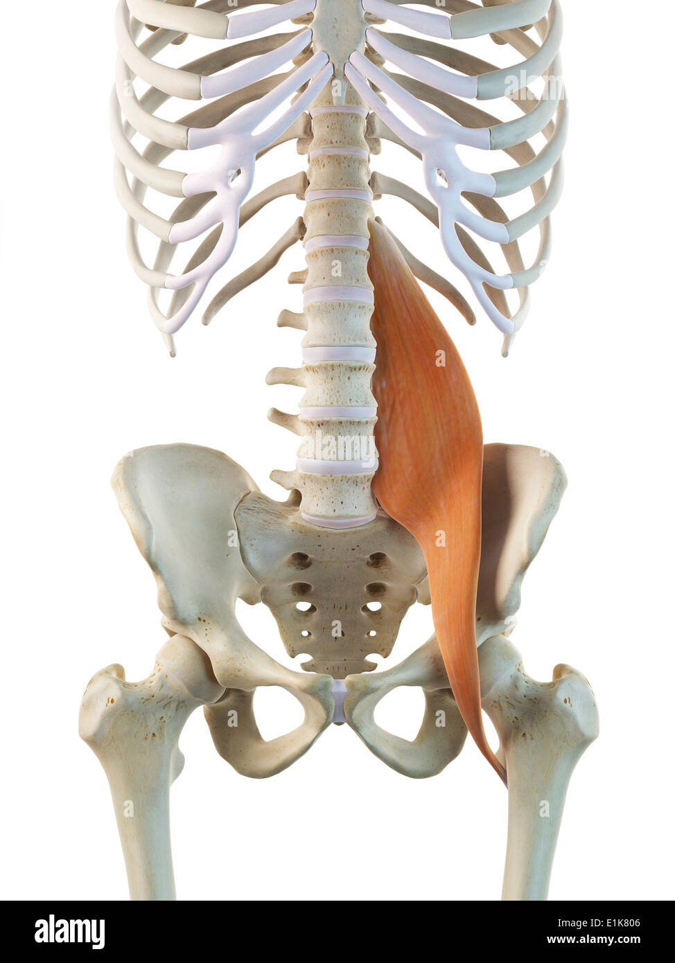 Psoas Major Muscle Stock Photos Psoas Major Muscle Stock Images