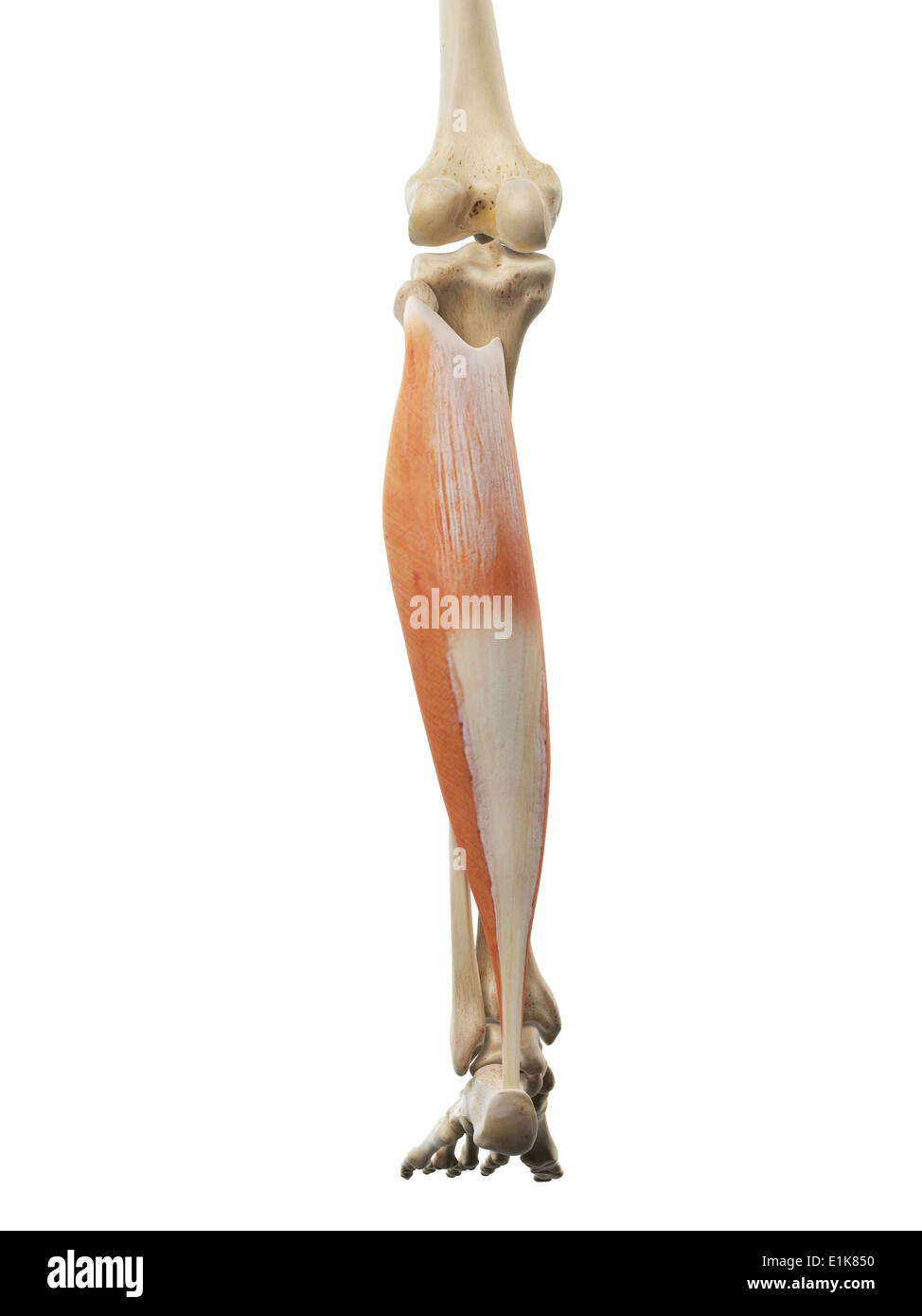 Human soleus muscle computer artwork Stock Photo: 69879628 - Alamy