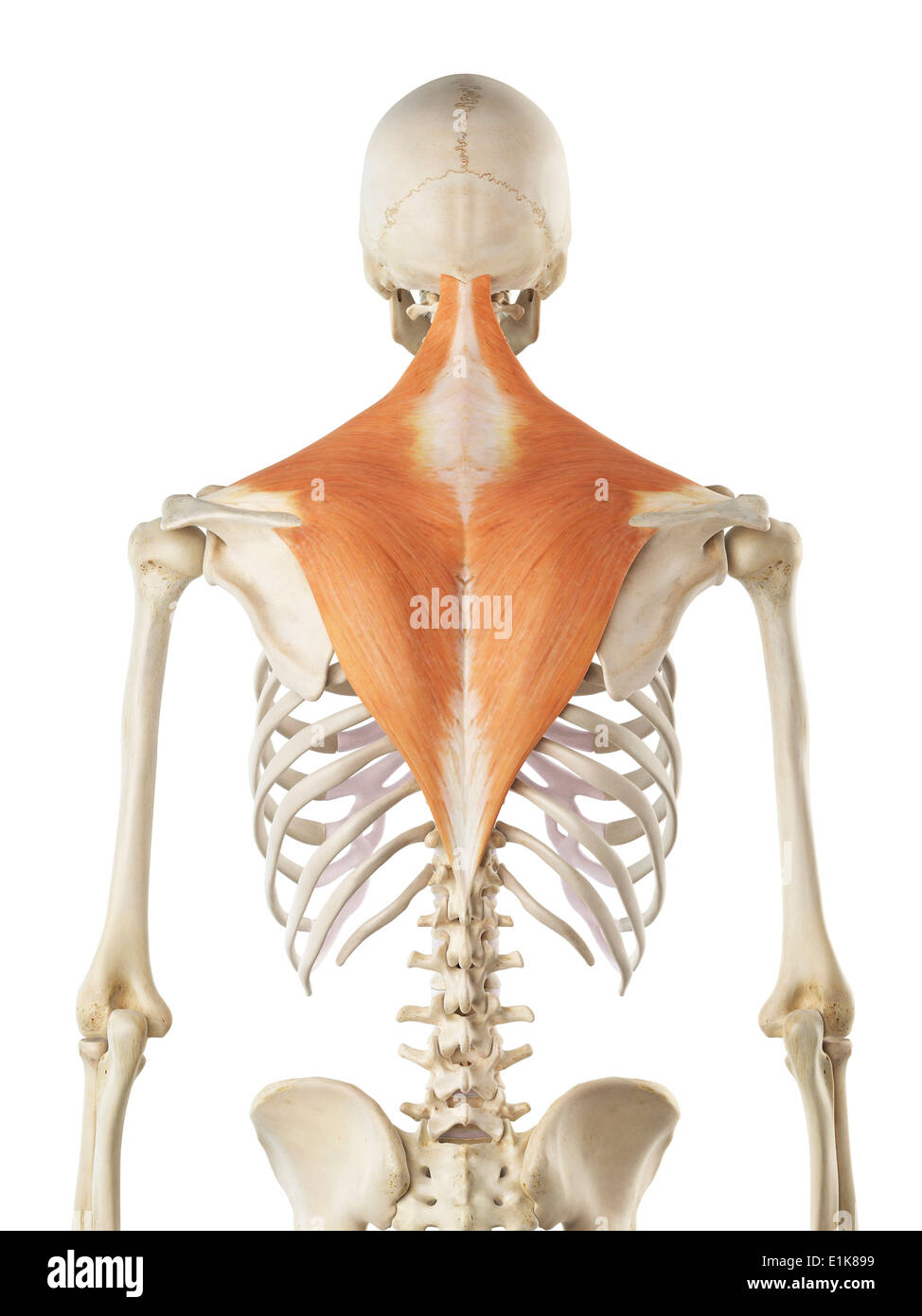 Trapezius Muscles Stock Photos & Trapezius Muscles Stock Images - Alamy