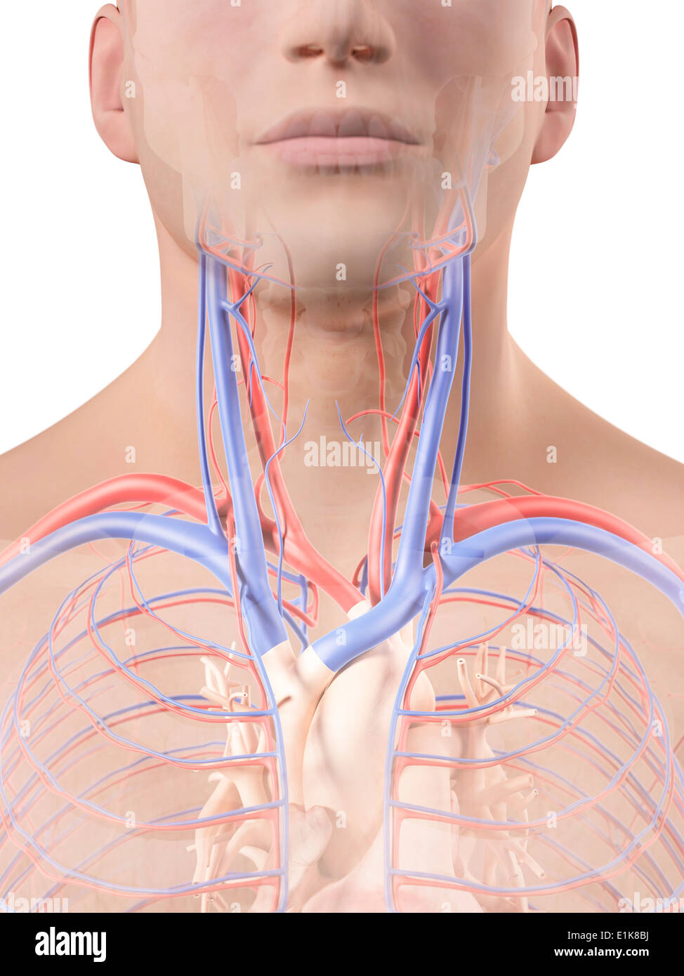 Blood Vessels Of The Neck Stock Photos Blood Vessels Of The Neck