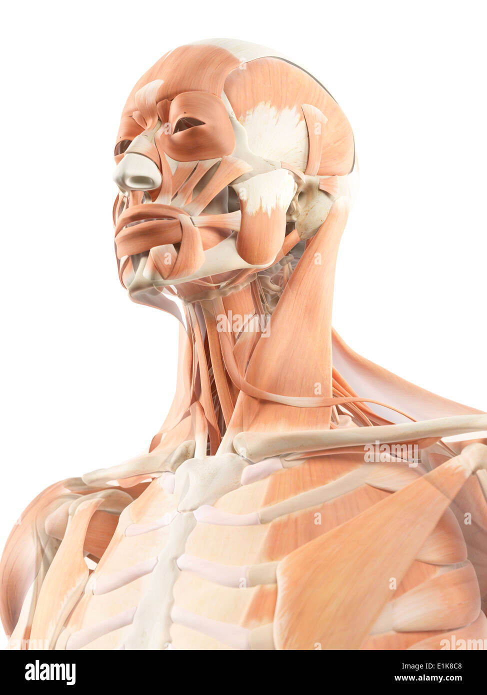 Human Muscular Head Neck Computer Stock Photos & Human Muscular Head ...