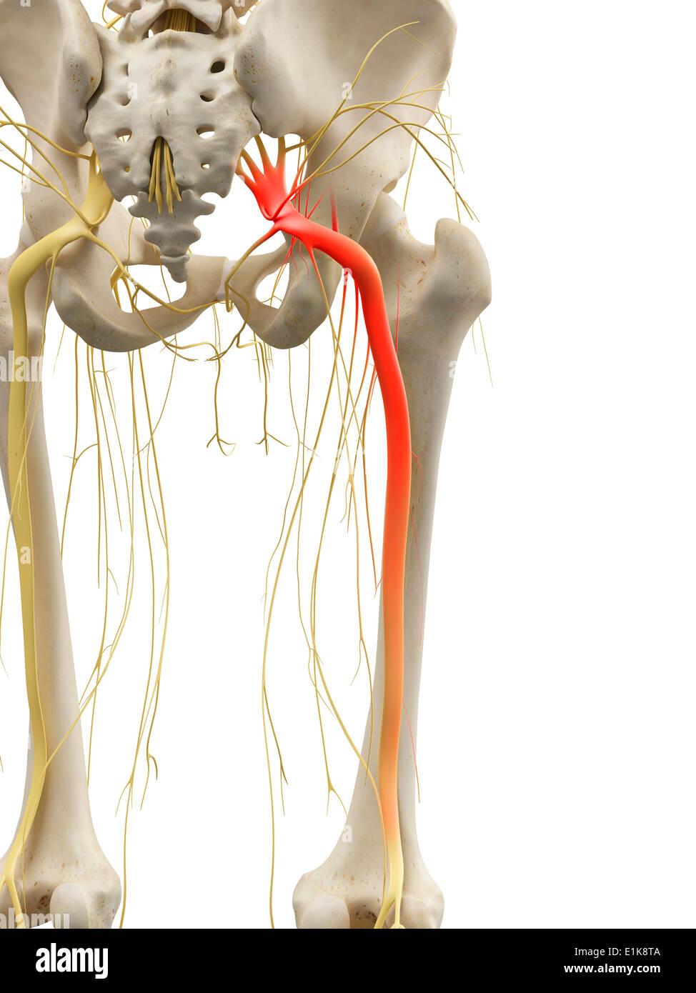 Human Sciatic Nerve Computer Artwork Stock Photo 69880170 Alamy