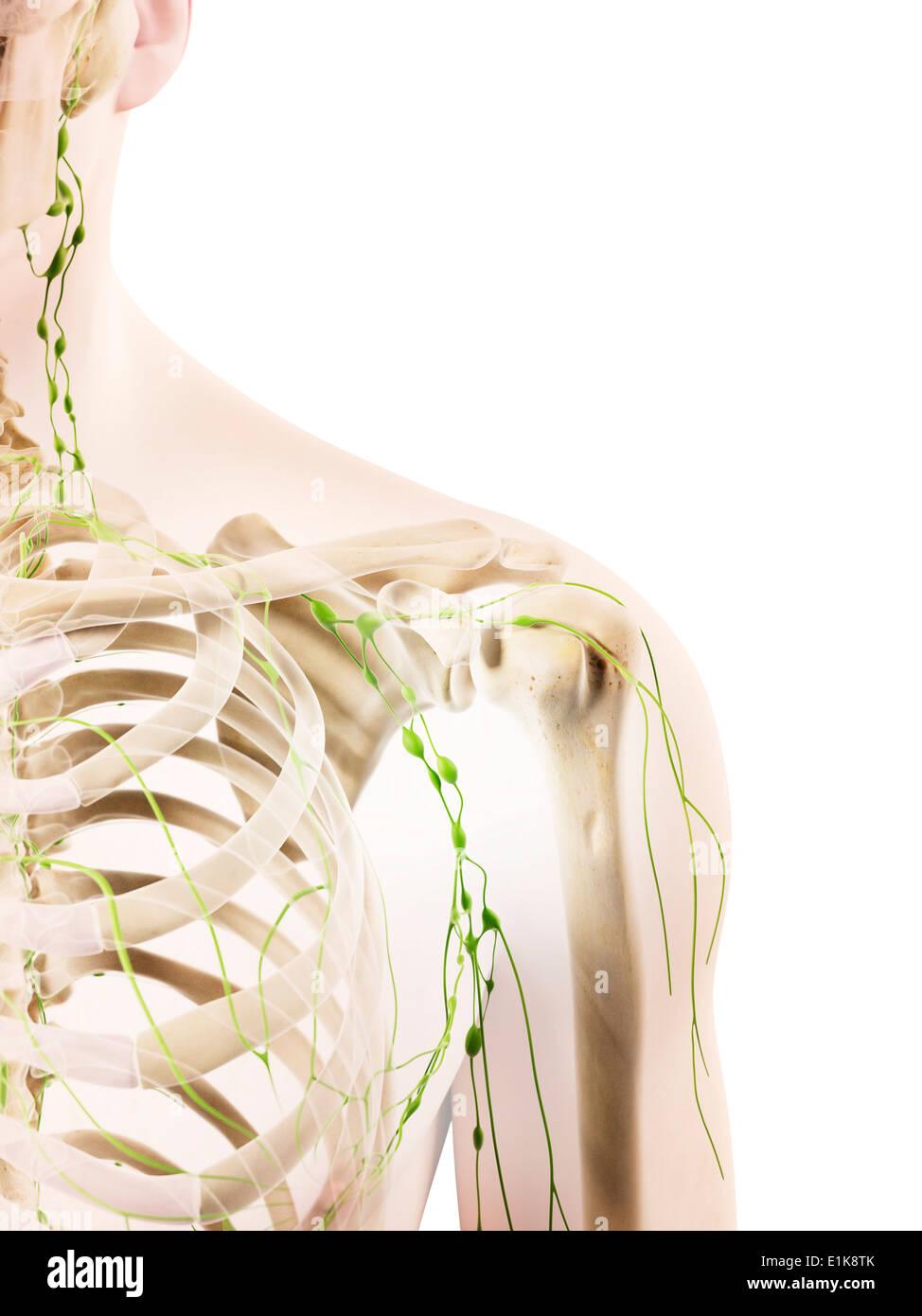 Human Shoulder Lymphatic Nodes Computer Artwork Stock Photo