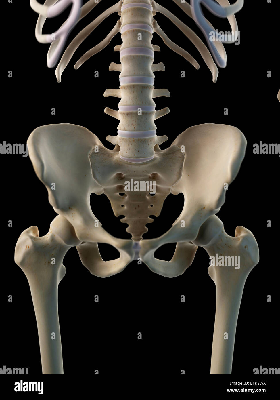 Human Hip Bone Computer Artwork Stock Photo 69880214 Alamy