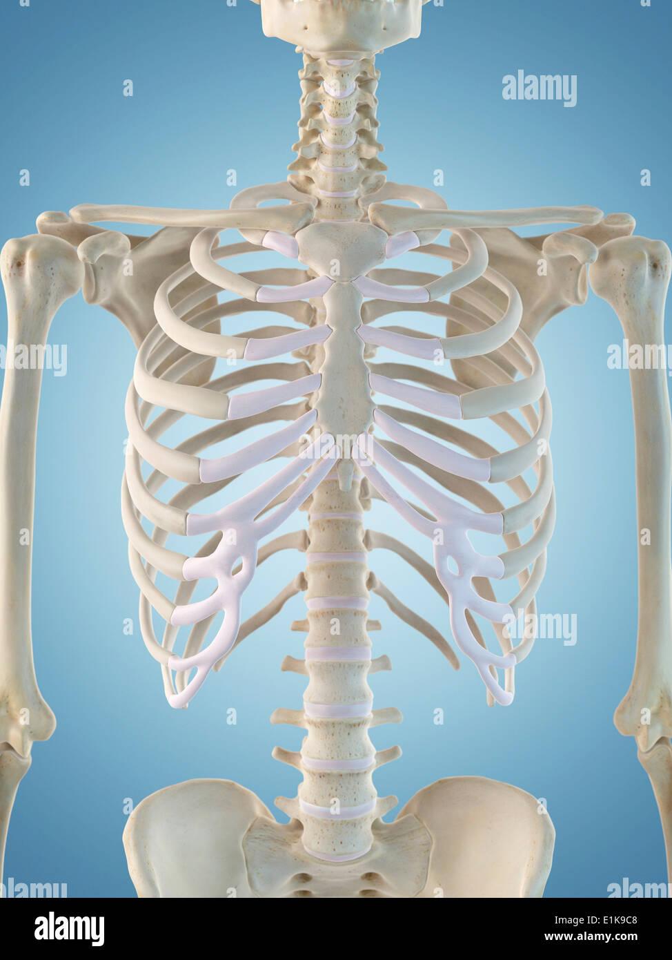 Human Skeletal Structure Computer Artwork Stock Photo 69880616 Alamy
