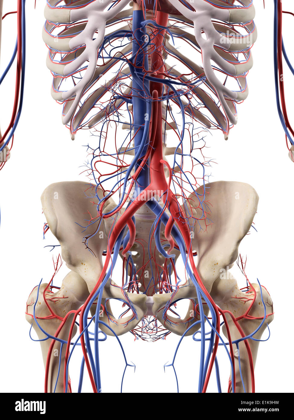 Human Abdominal Blood Vessels Computer Artwork Stock Photo 69880773