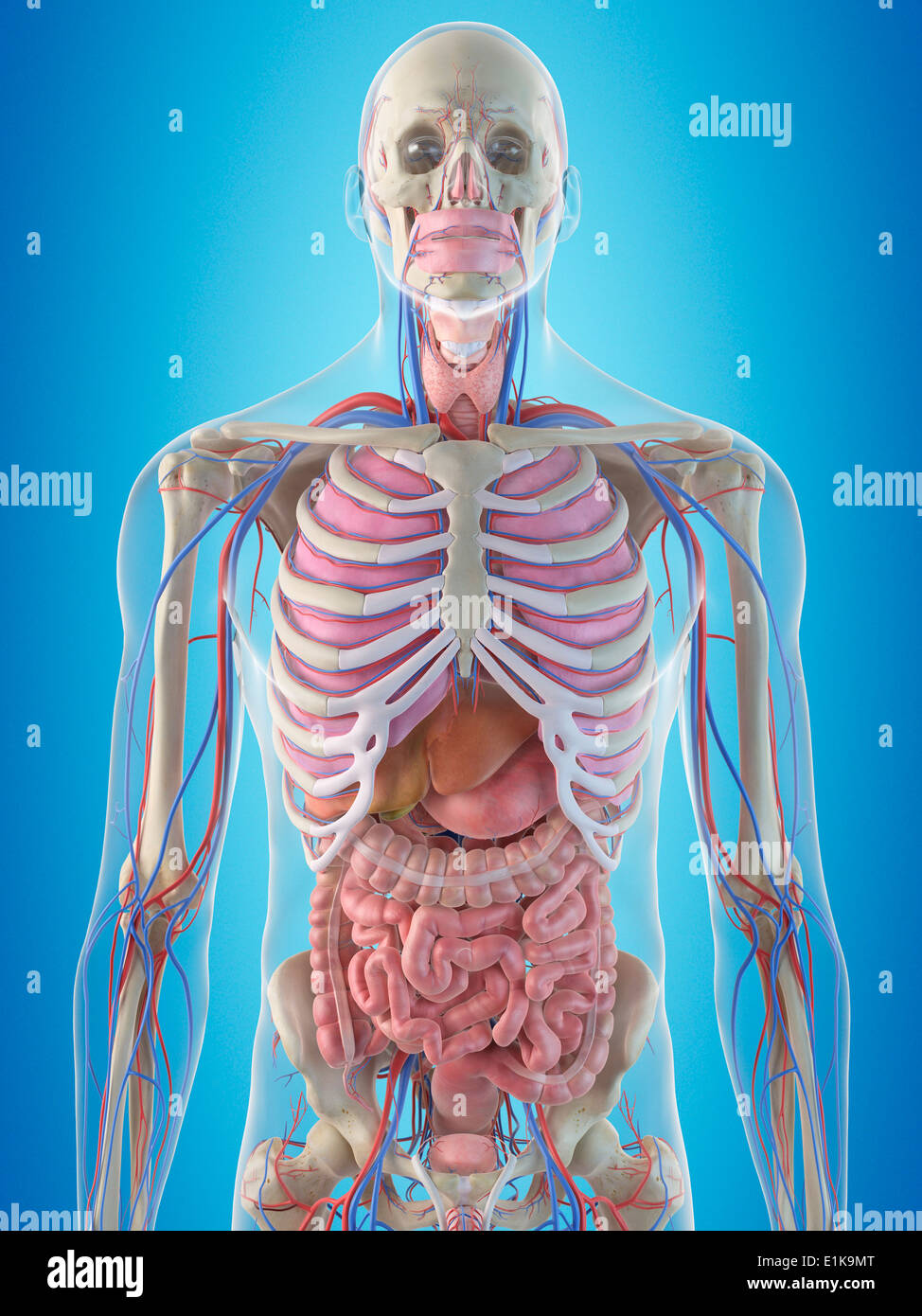 Human Ribcage Internal Organs Computer Stock Photos Human Ribcage