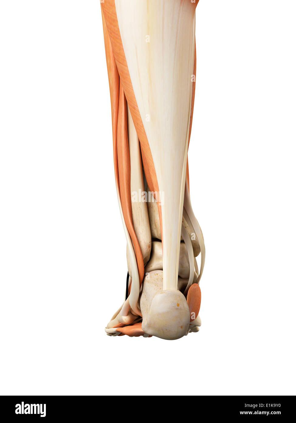 Human Heel Anatomy Stock Photos & Human Heel Anatomy Stock Images ...
