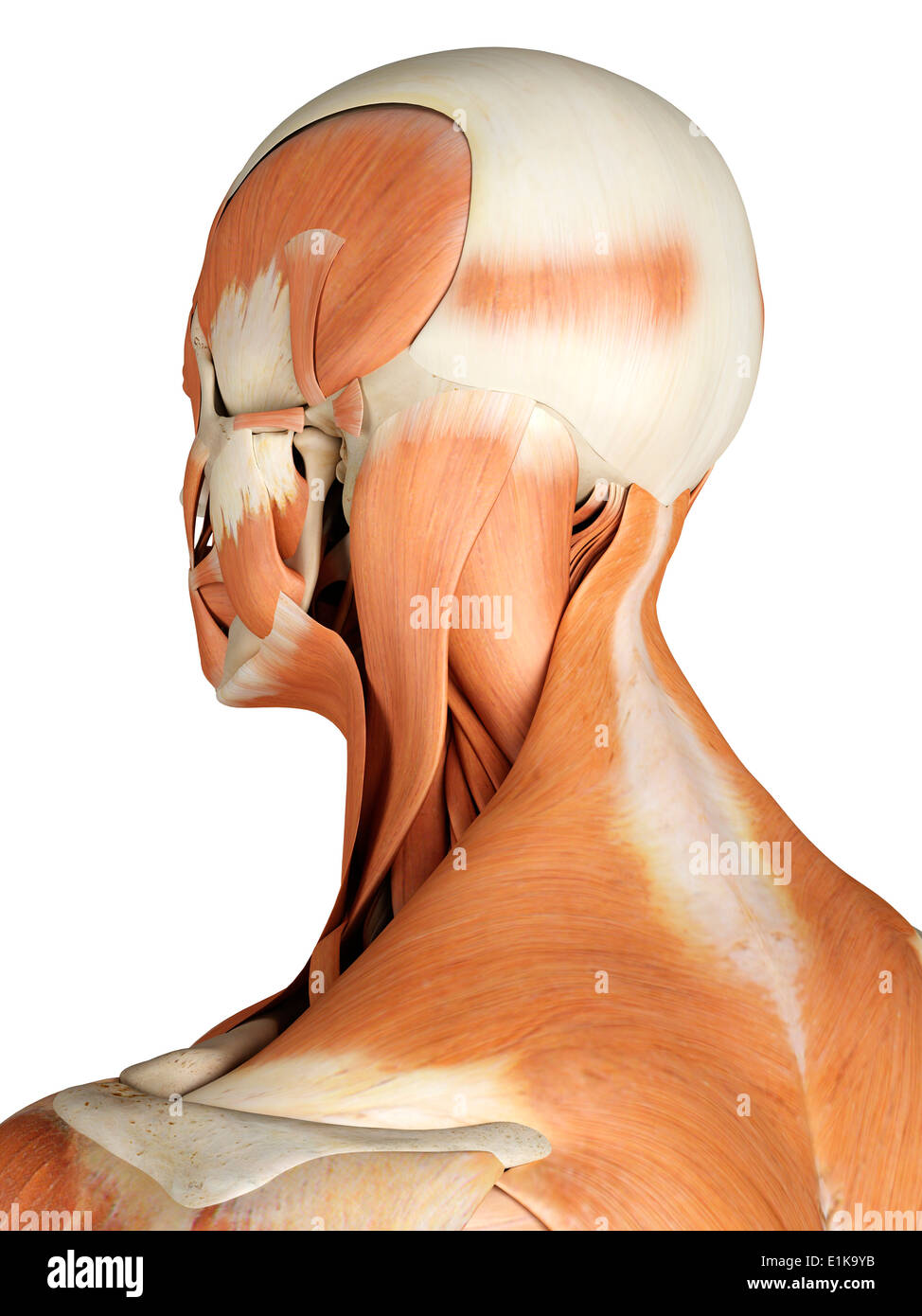 Human Muscular Head Neck Computer Stock Photos Human Muscular Head