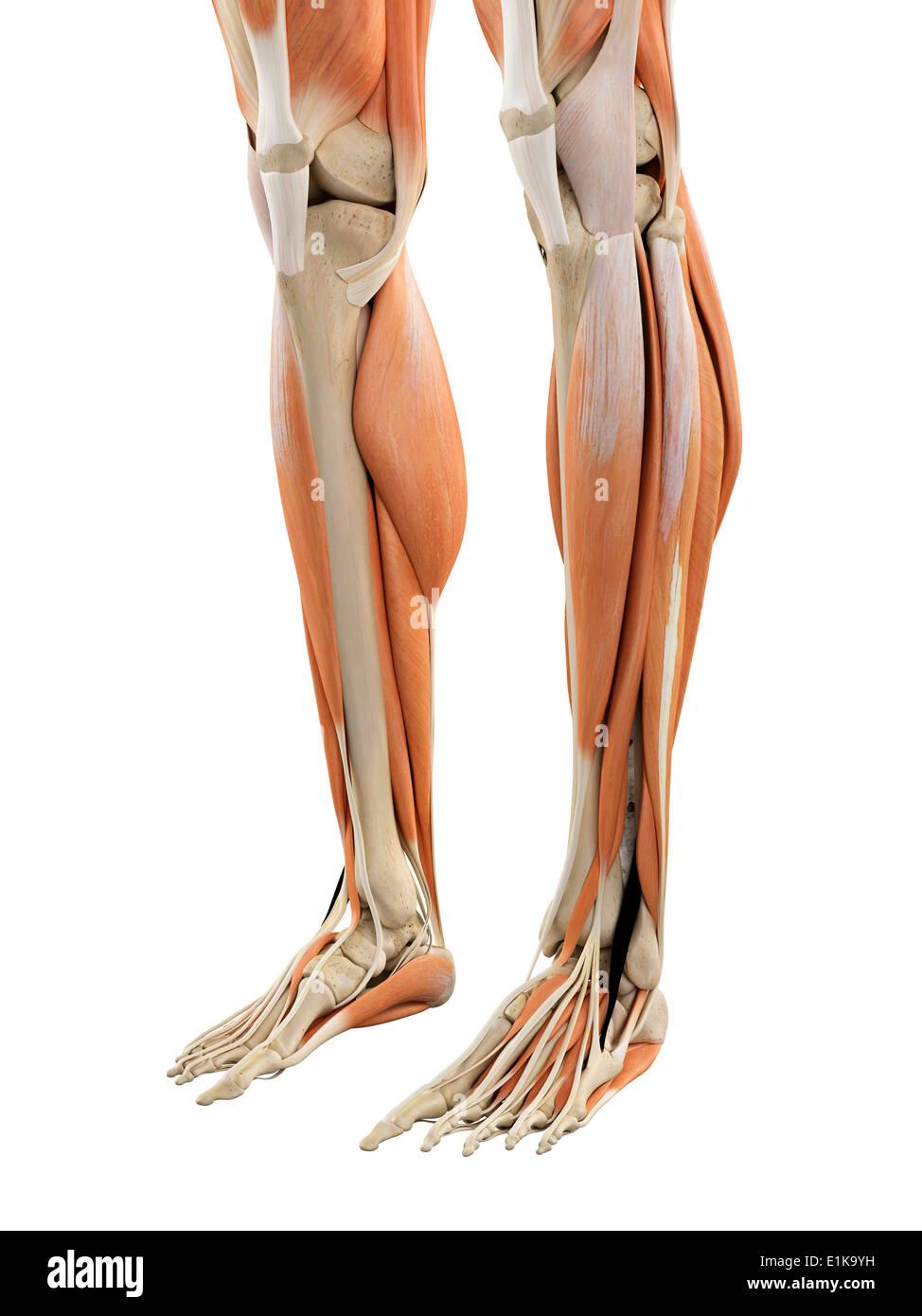 Human leg and foot anatomy computer artwork Stock Photo: 69881045 ...