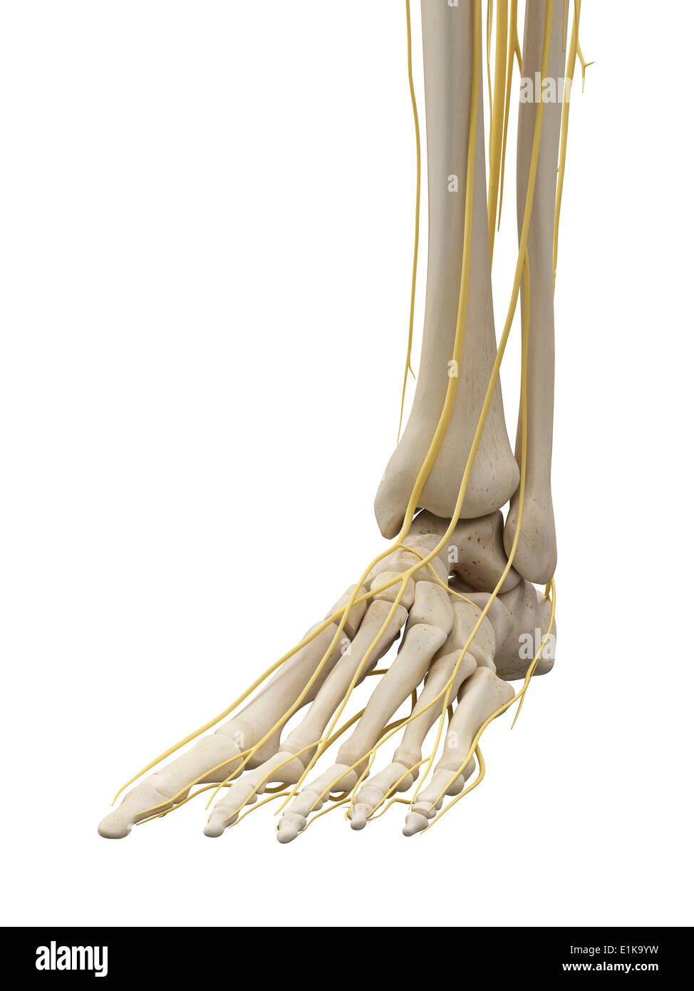 Human bones and nerves of the hand computer artwork Stock Photo ...