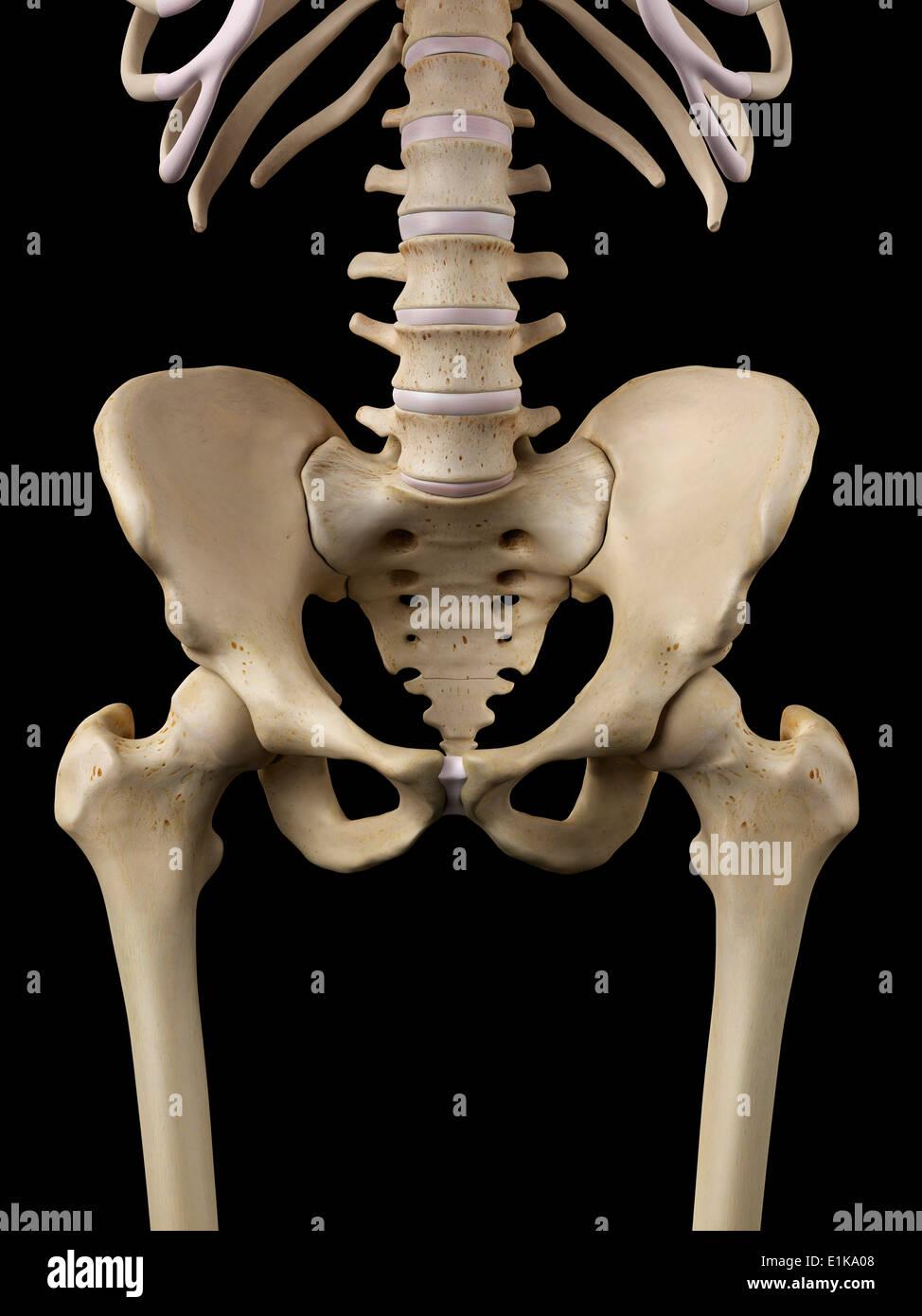 Human Hip Bones Computer Artwork Stock Photo 69881064 Alamy
