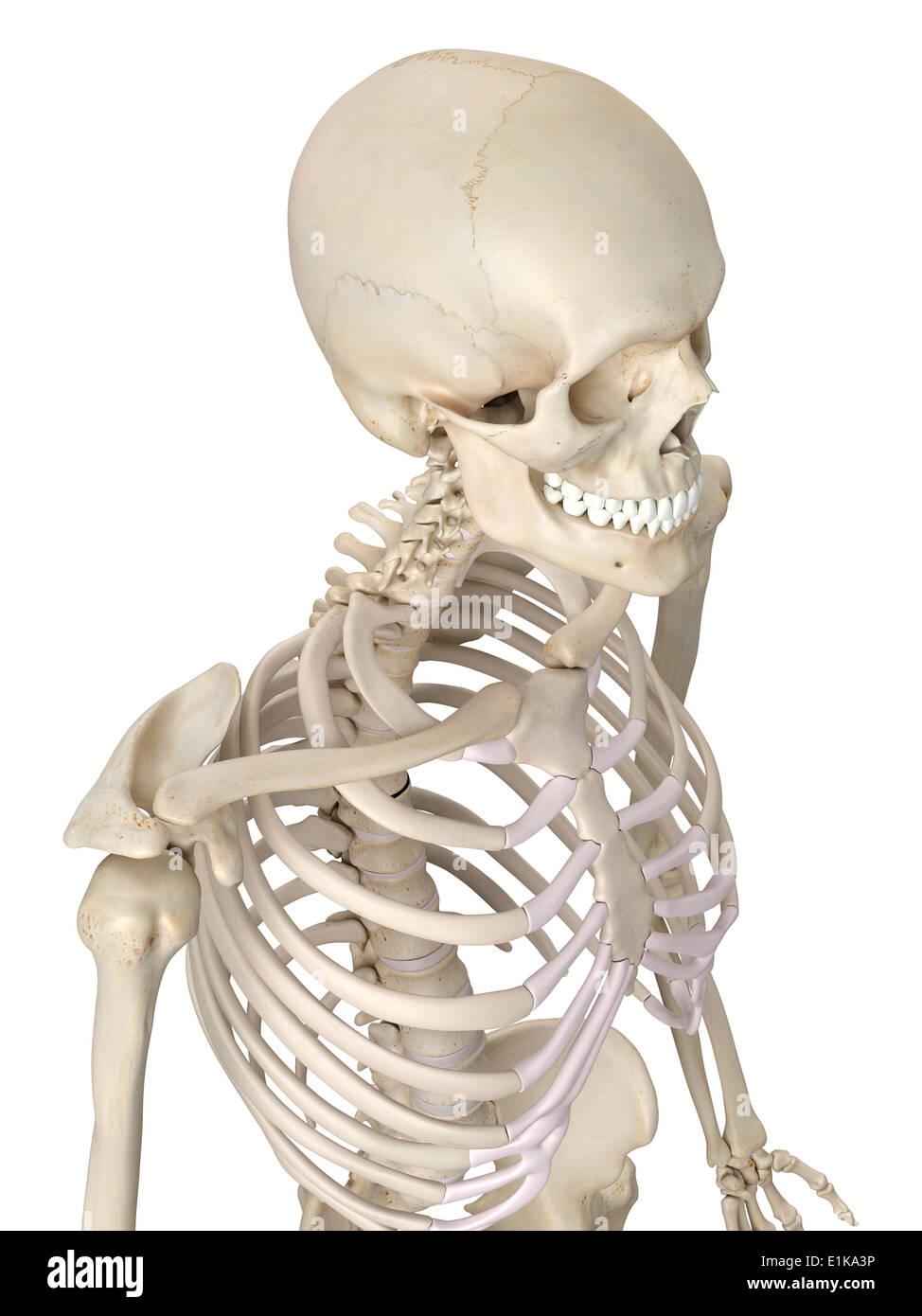 Human thorax anatomy computer artwork Stock Photo: 69881162 - Alamy