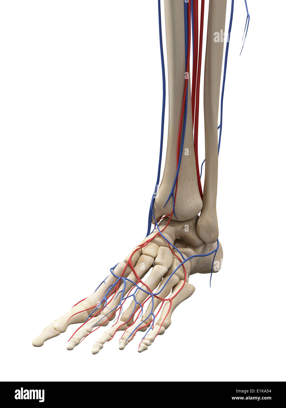 Vascular system of the foot computer artwork Stock Photo: 69881200 ...
