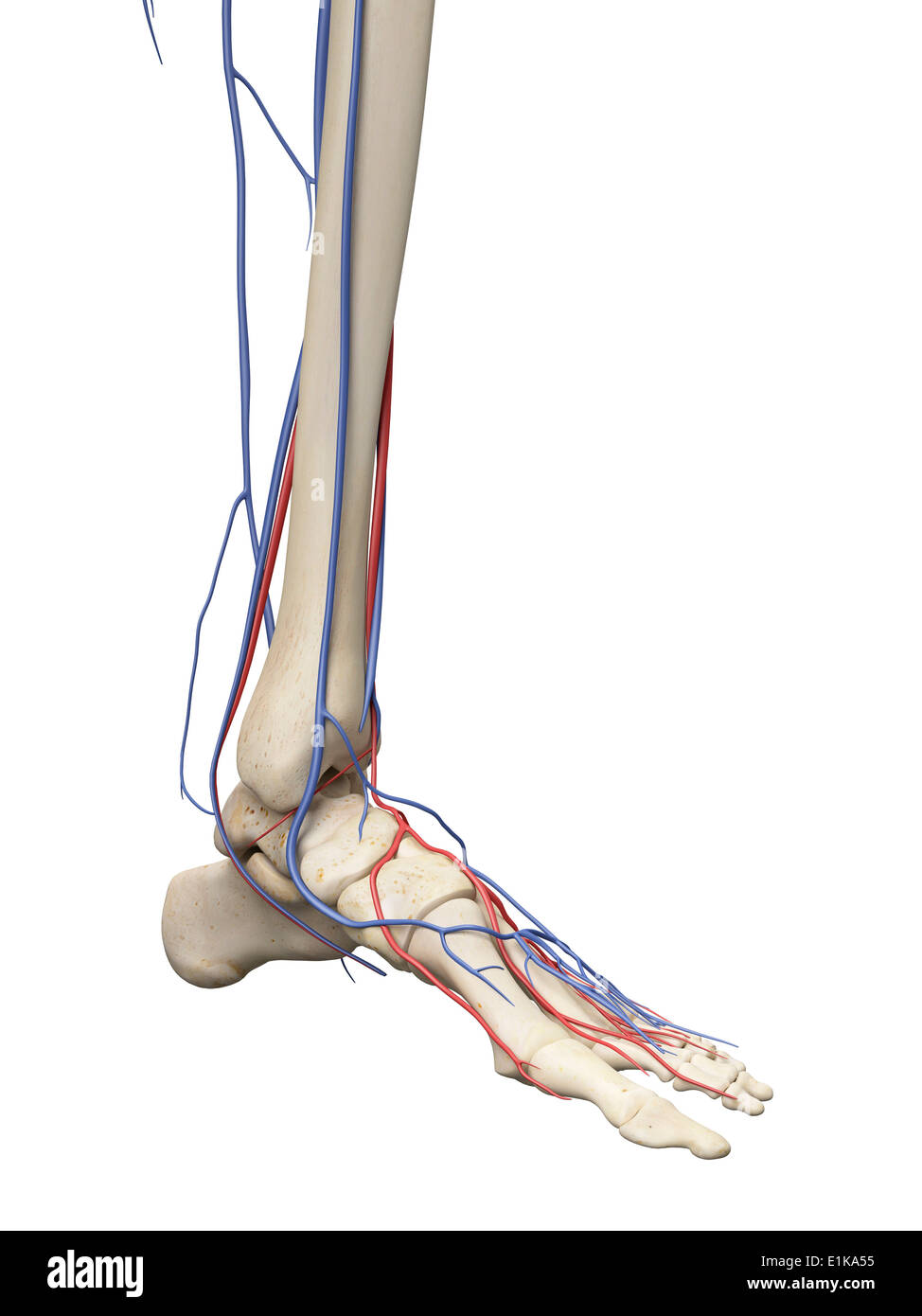 Vascular system of the foot computer artwork Stock Photo: 69881201 ...