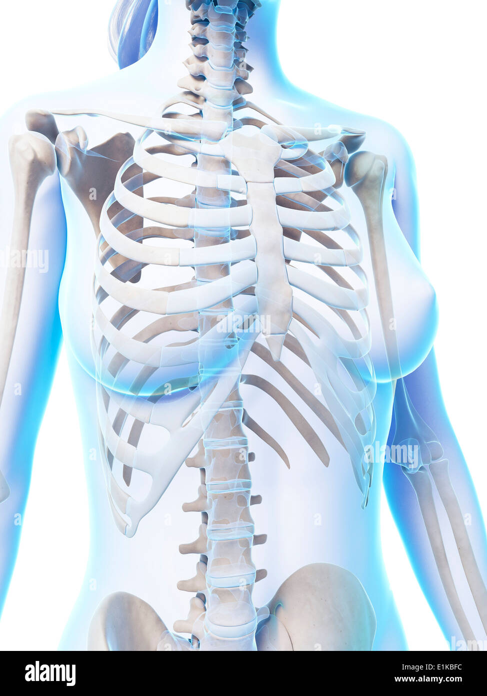 Female Ribcage Computer Artwork Stock Photo 69882272 Alamy