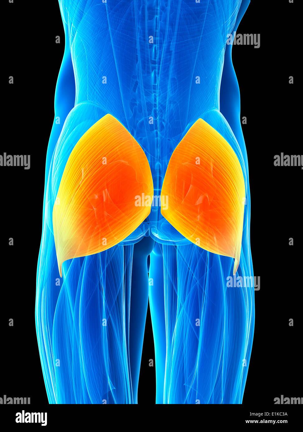 Human buttock muscles (gluteus maximus) computer artwork Stock Photo ...