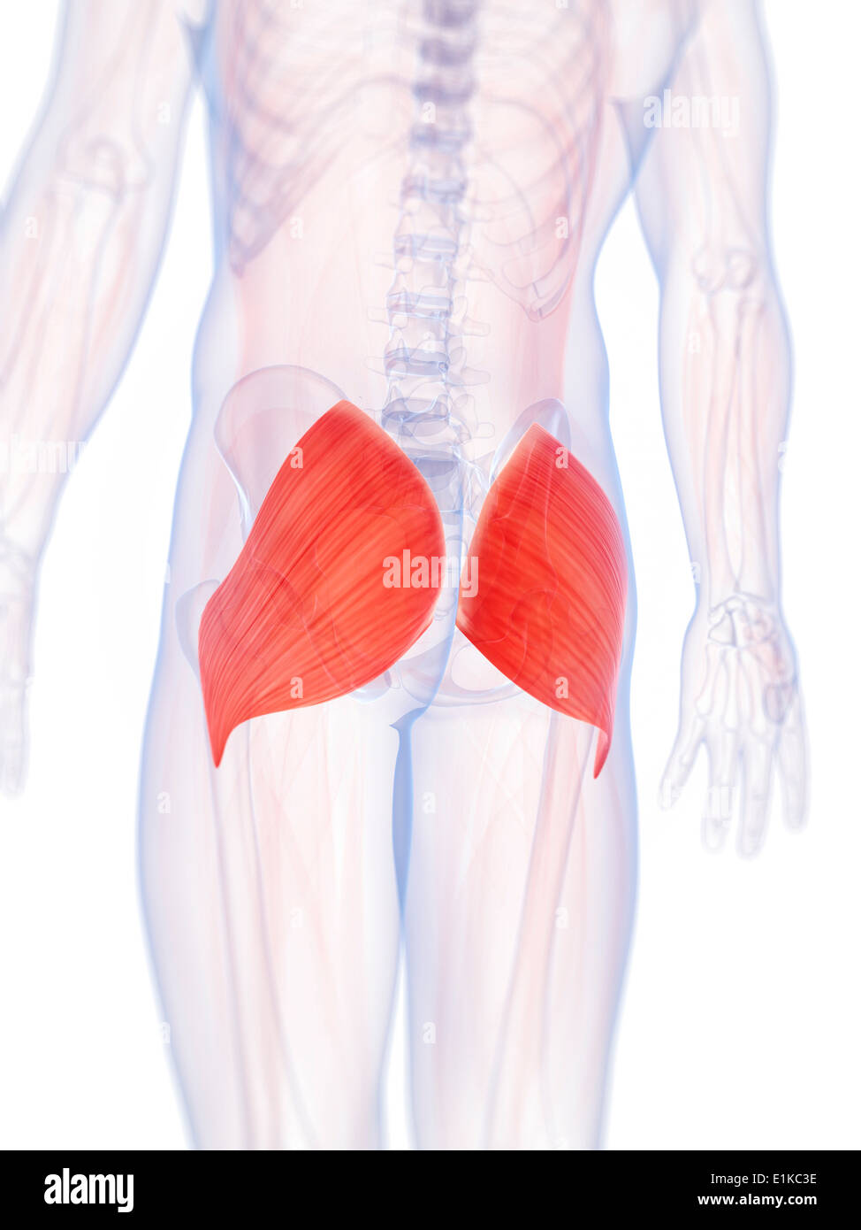 Human buttock muscles (gluteus maximus) computer artwork Stock Photo ...