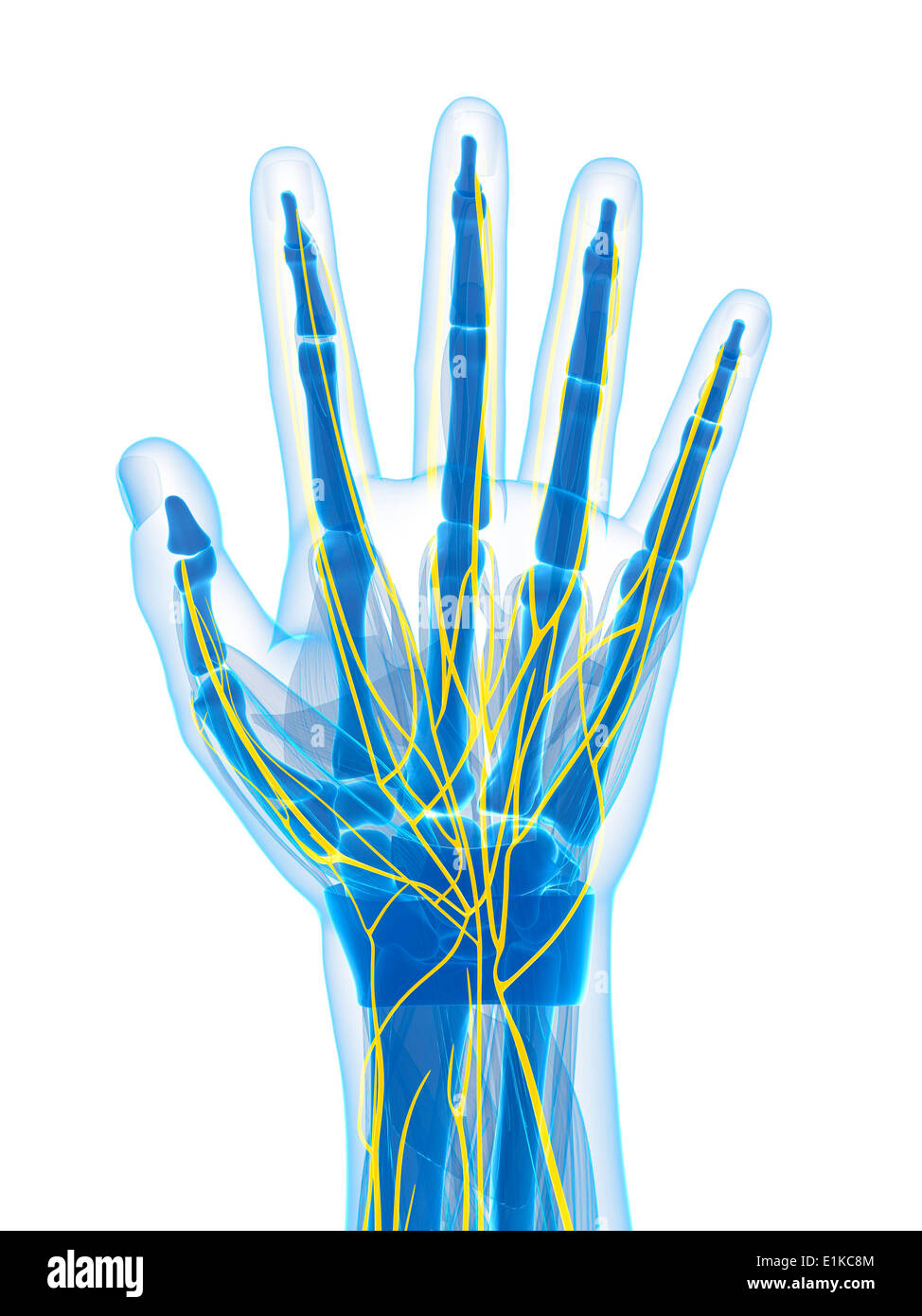 human hand nerves computer artwork E1KC8M human hand nerves stock photos & human hand nerves stock images alamy