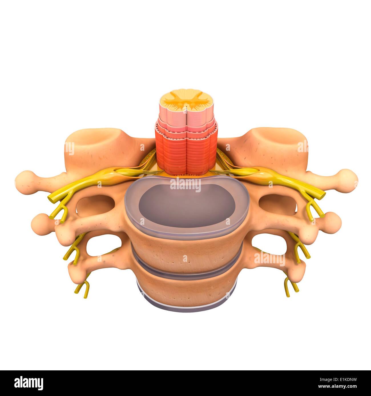Human vertebra computer artwork. - Stock Image