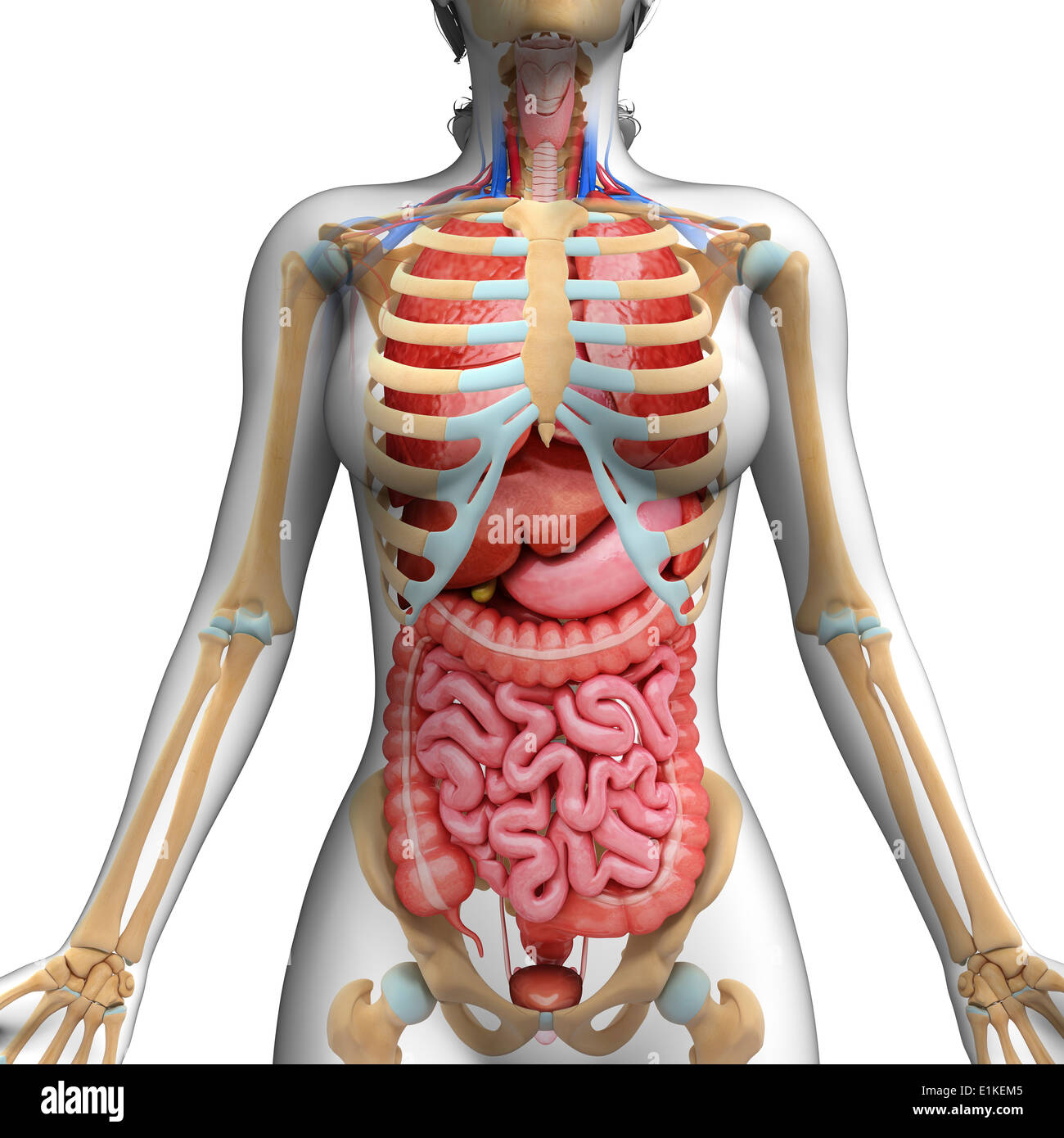 Human Digestive System And Ribcage Computer Artwork Stock Photo