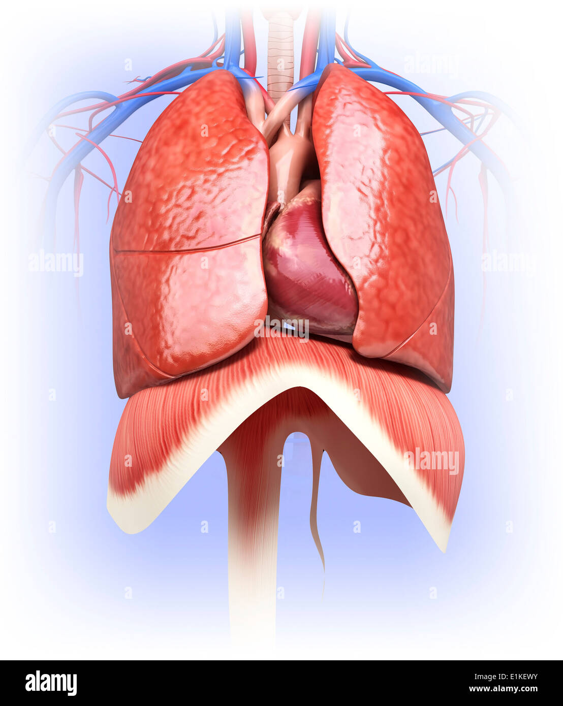 The Lungs And The Diaphragm Stock Photos The Lungs And The