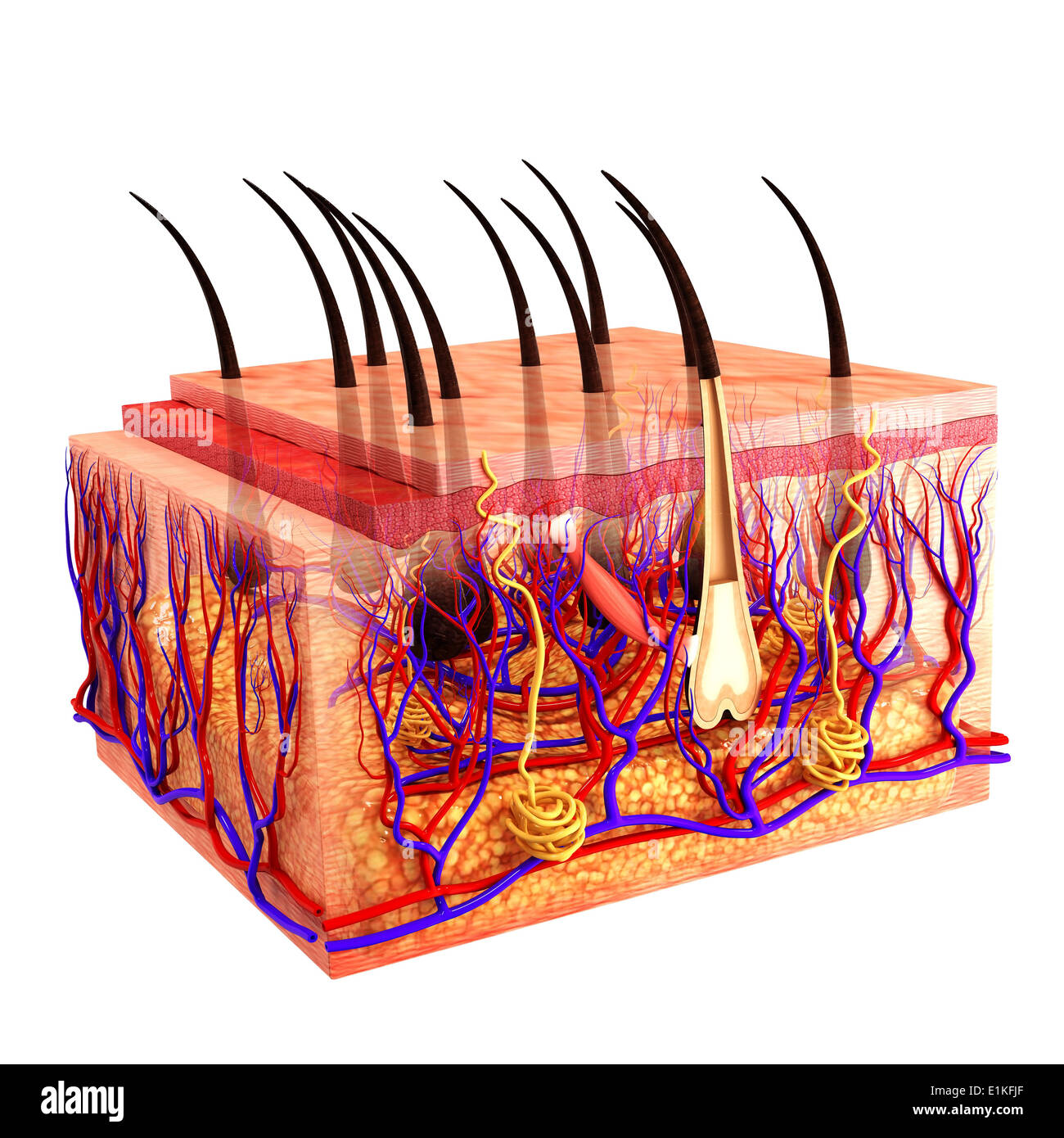 Human Integumentary System Cut Out Stock Images Pictures Alamy