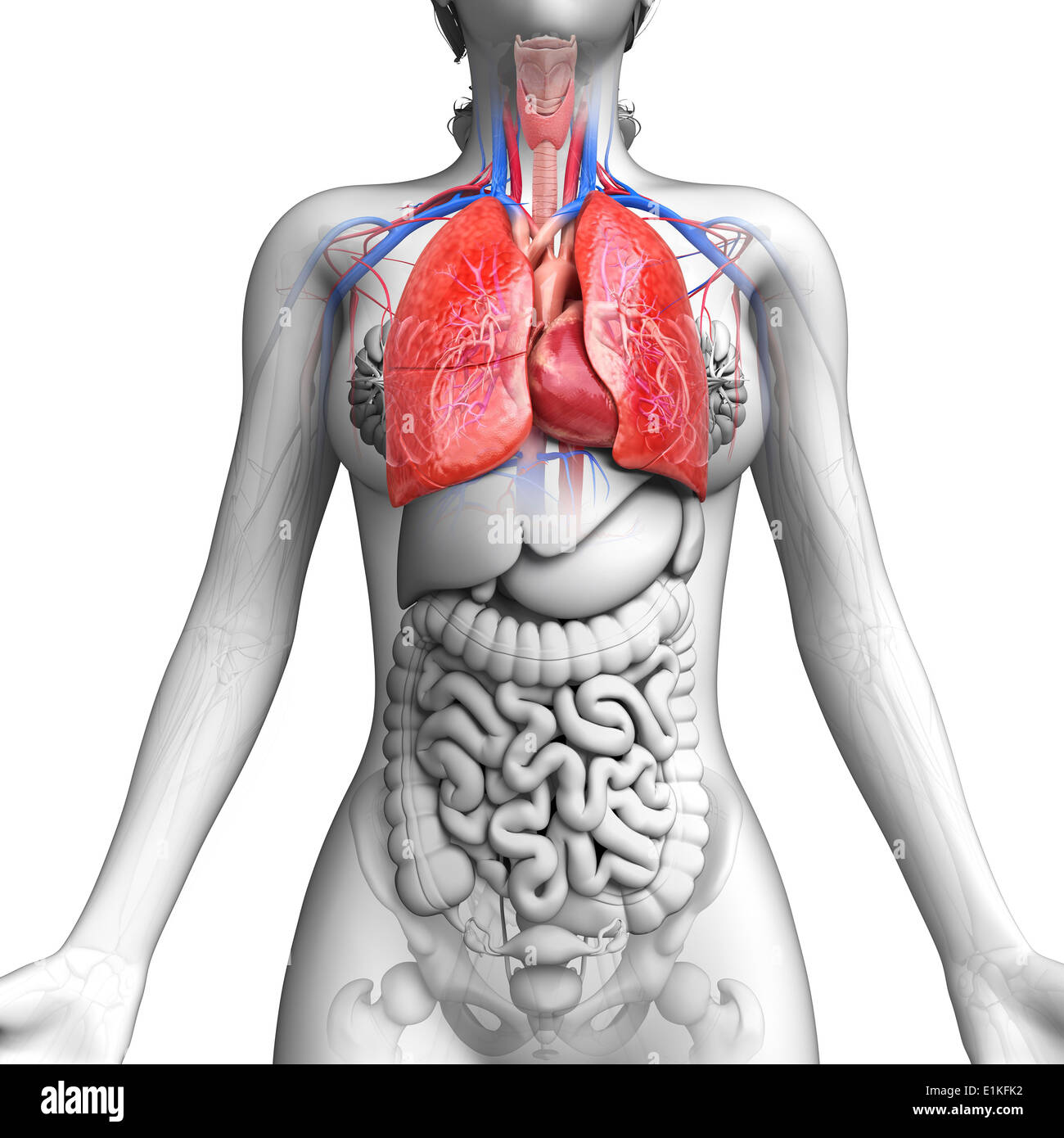 Female Intestinal Anatomy Stock Photos & Female Intestinal Anatomy ...