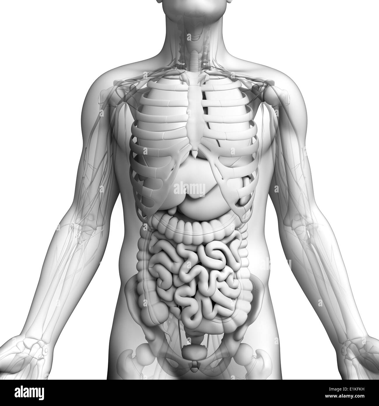 Human Internal Organs Black And White Stock Photos Images Alamy