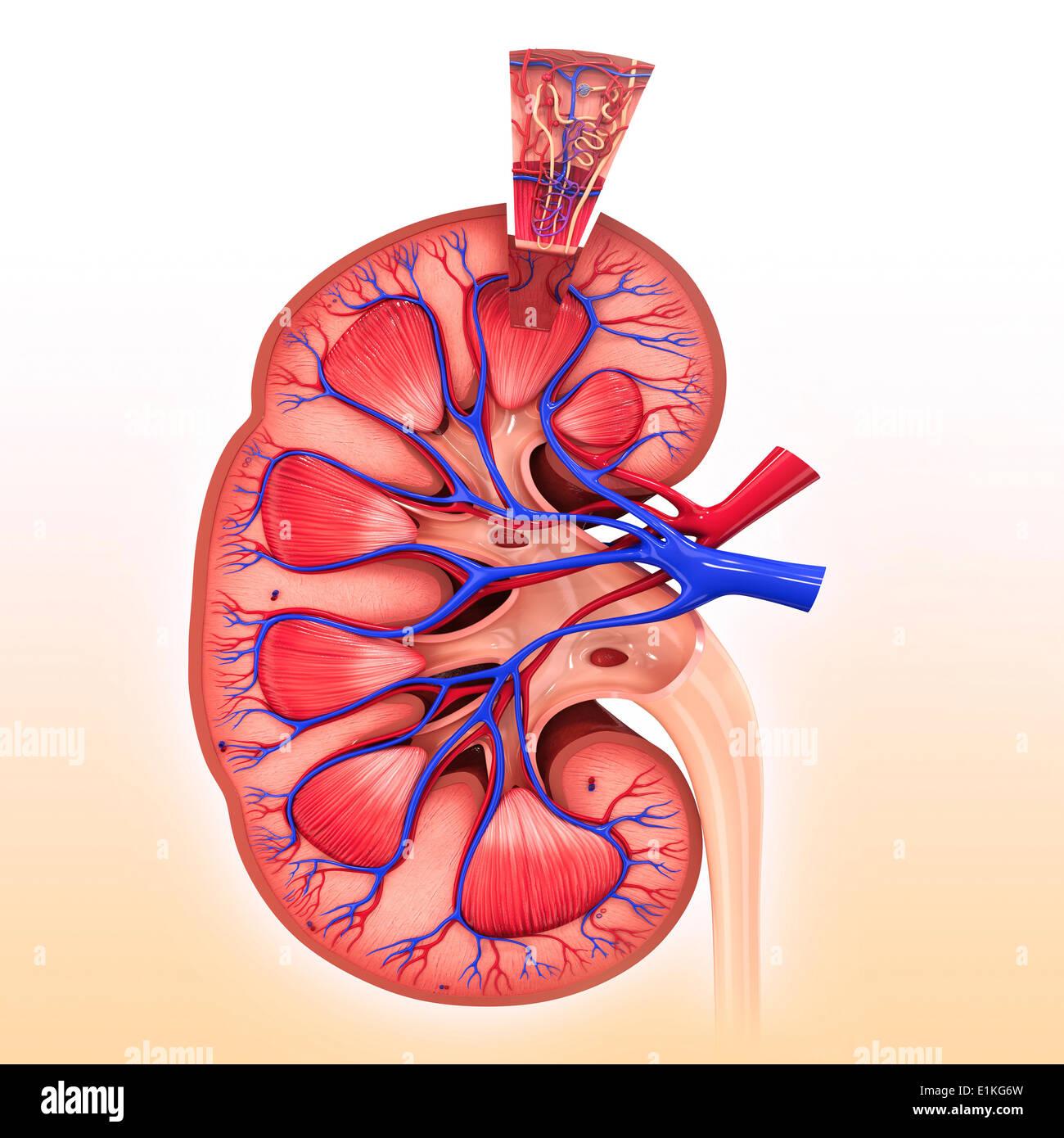 Kidney Nephron Stock Photos & Kidney Nephron Stock Images - Alamy