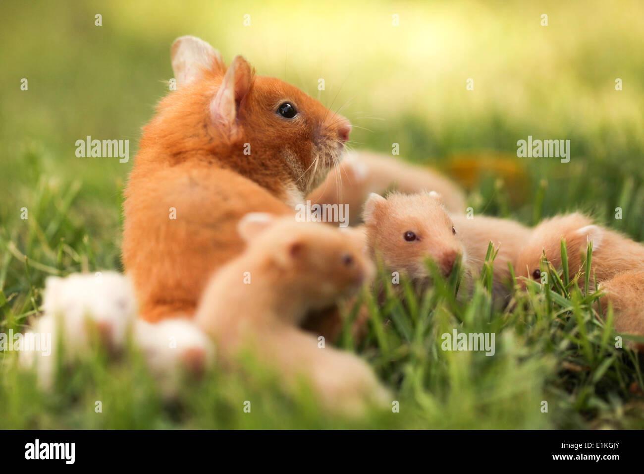 Golden or Syrian hamster (Mesocricetus auratus) with her young litter on grass. - Stock Image