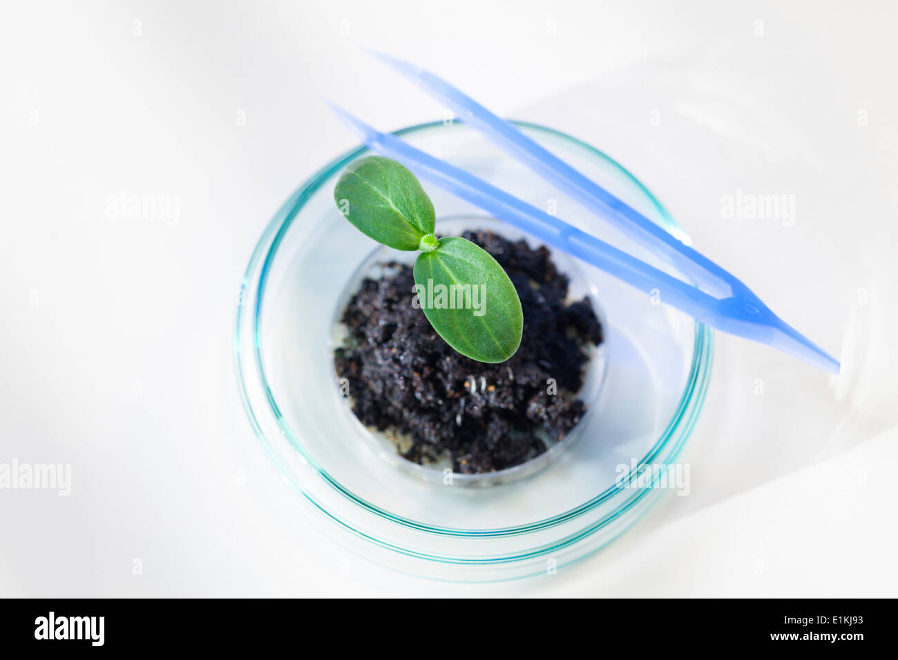 Seedling in a petri dish close up. - Stock Image
