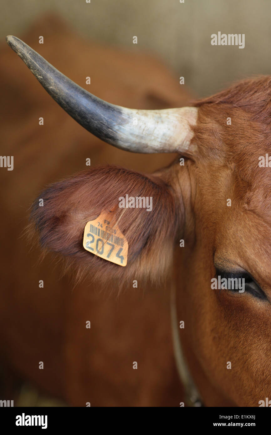 Tagged cow Stock Photo