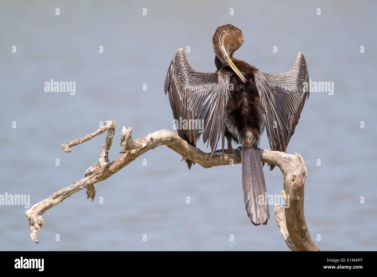 Oriental Darter or Indian Snakebird wings outspread, in Yala National Park, Sri Lanka Asia - Stock Image