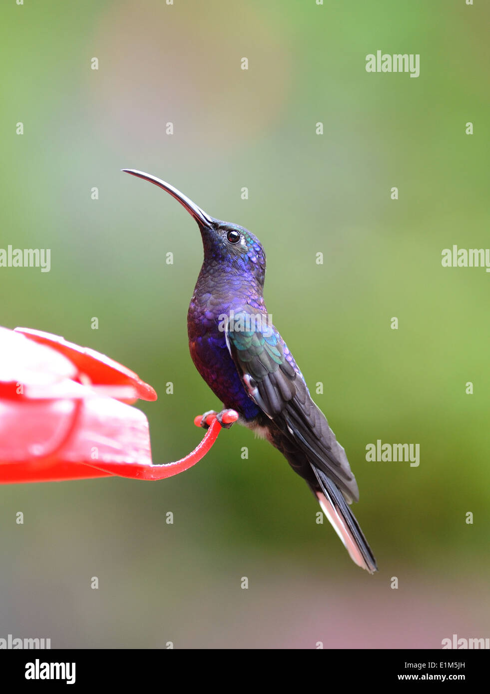 A male Violet Sabrewing (Campylopterus hemileucurus) hummingbird at a feeder. Its iridescent feathers appear blue or violet. Stock Photo