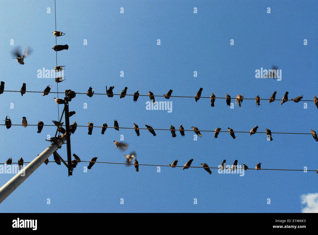 Swallows on electric wires Stock Photo: 69900407 - Alamy