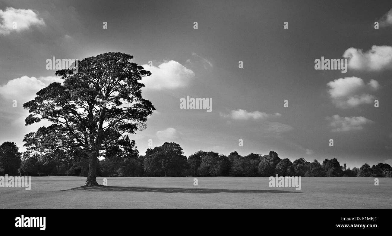 Black & white image of large oak tree with long shadow. Taken with surrounding well cut grass. Sky with white clouds. - Stock Image