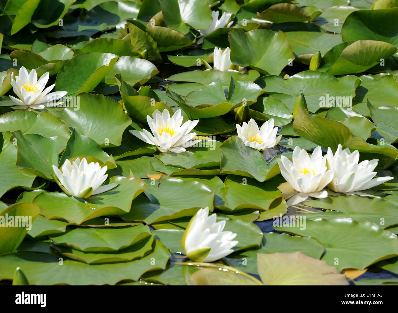 Vivid White Water Lilies Blossom On A Pond Arrangement In Stock