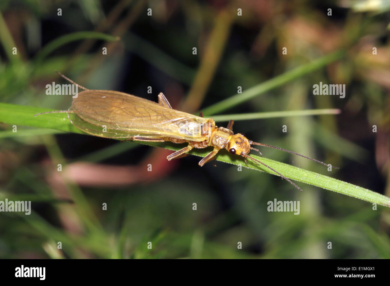 Small yellow sally stonefly (Chloroperla torrentium : Chloroperlidae) beside a fast-flowing stream, UK. - Stock Image