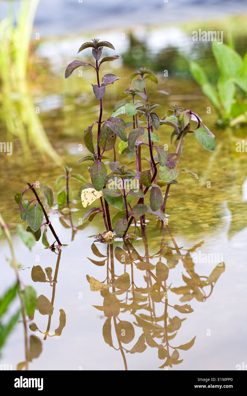 Mentha aquatica. Water mint in a newly planted pond. Stock Photo