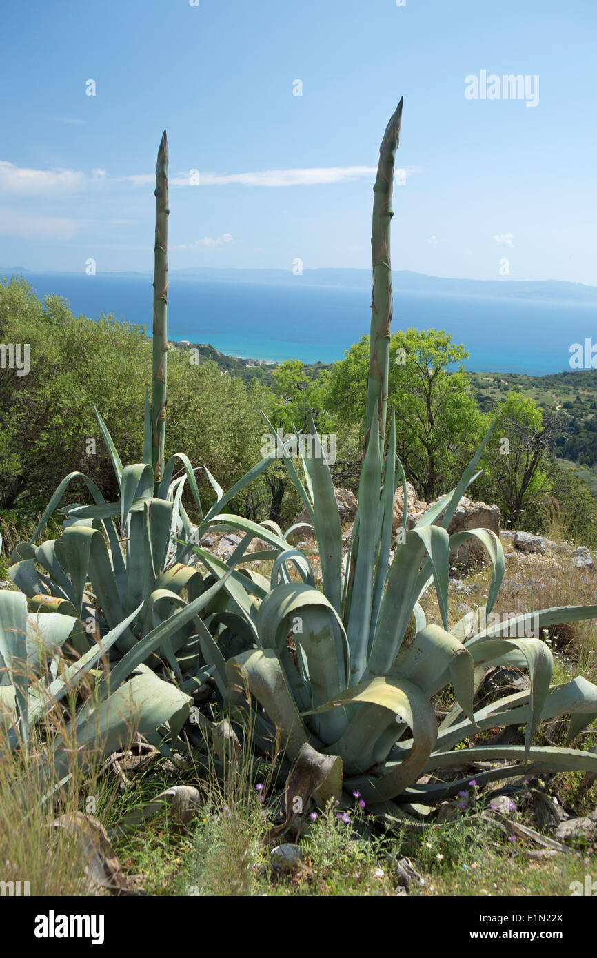 The flower stalks on a couple of Agave plants growing tall on the hillside of Skala, Kefalonia Stock Photo