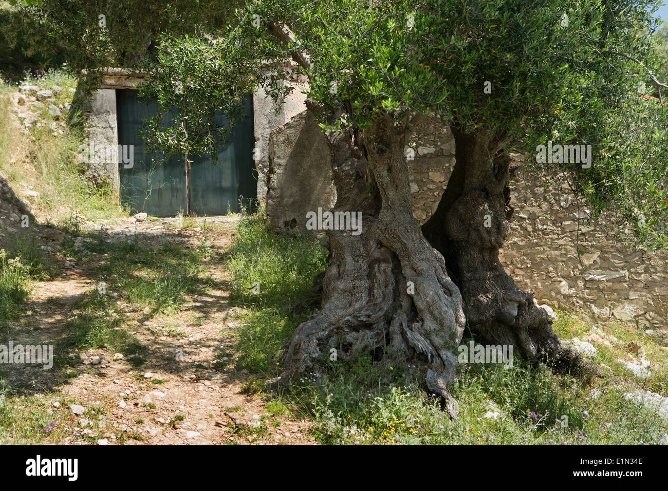 An old Olive Tree, Olea europaea, stands in front of an old garage at Old Skala, Kefalonia, Greece Stock Photo