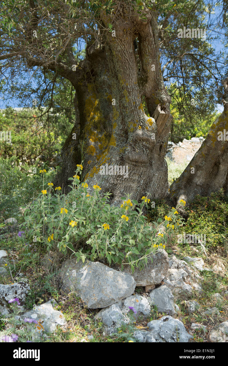 Wildflowers grow underneath the shade of an old Olive tree in Kefalonia, Greece. Stock Photo