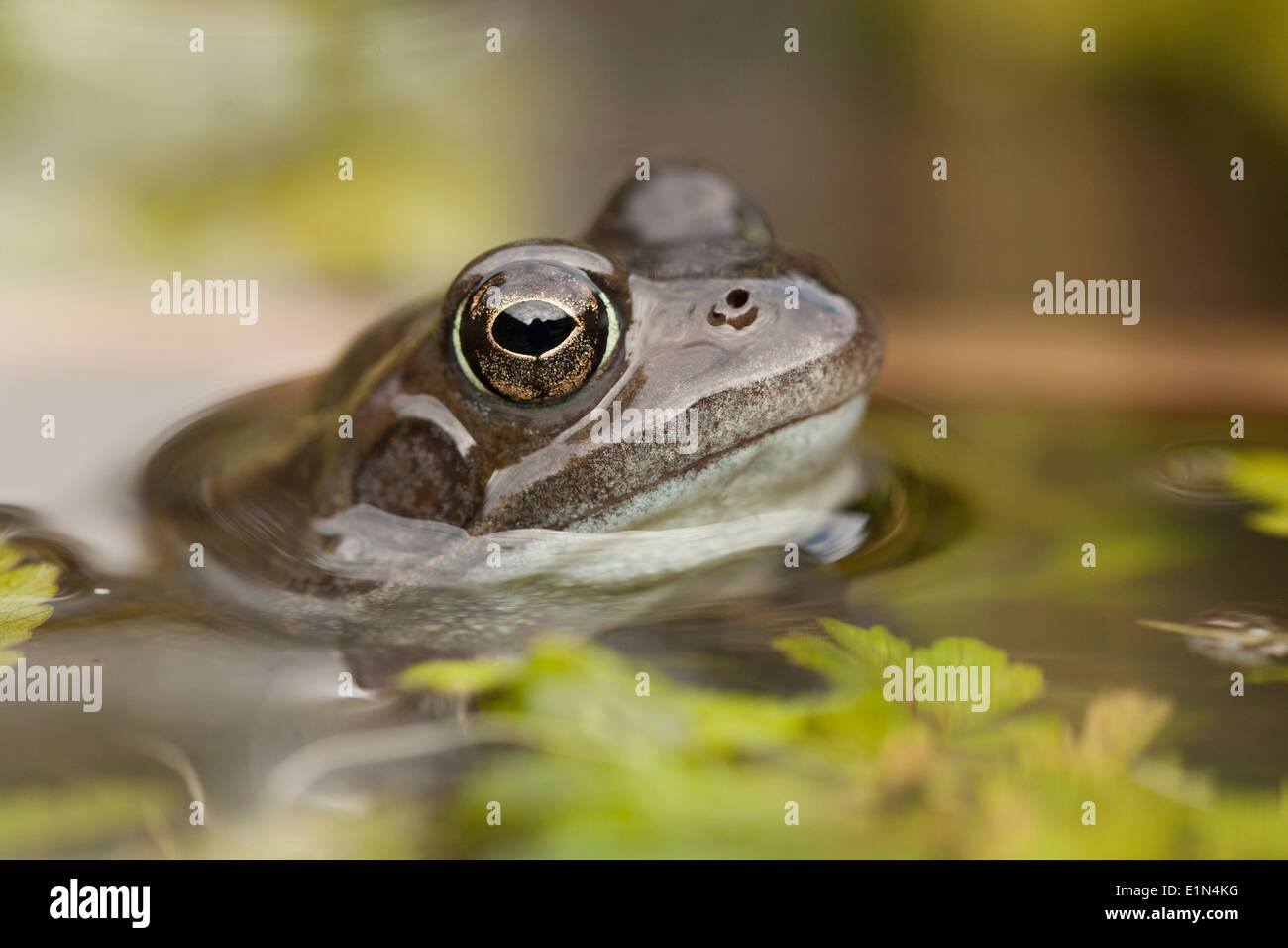Common Frogs, (Rana temporaria) during spawning season, UK. - Stock Image
