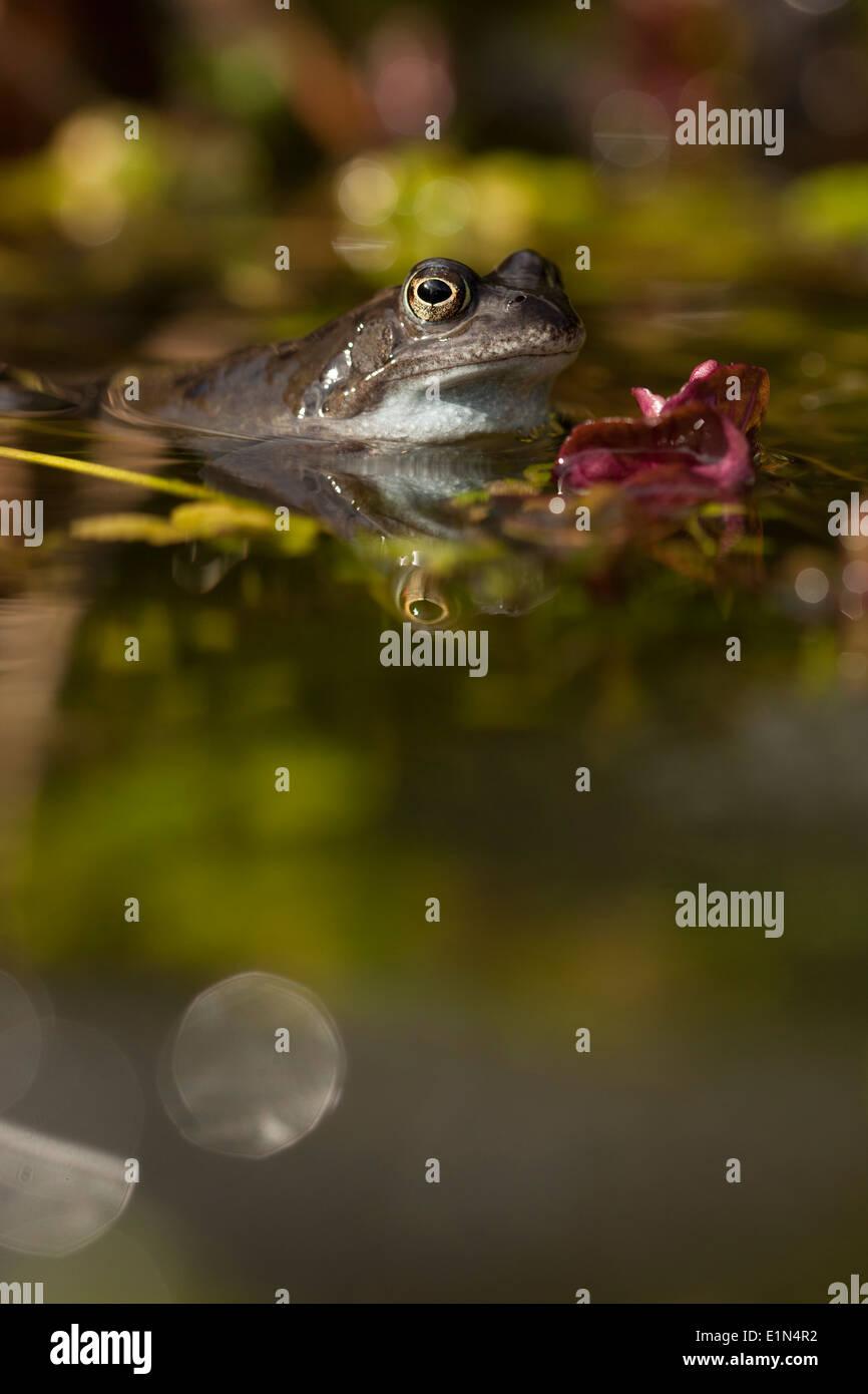 Common Frogs, (Rana temporaria) during spawning season, UK. - Stock Image
