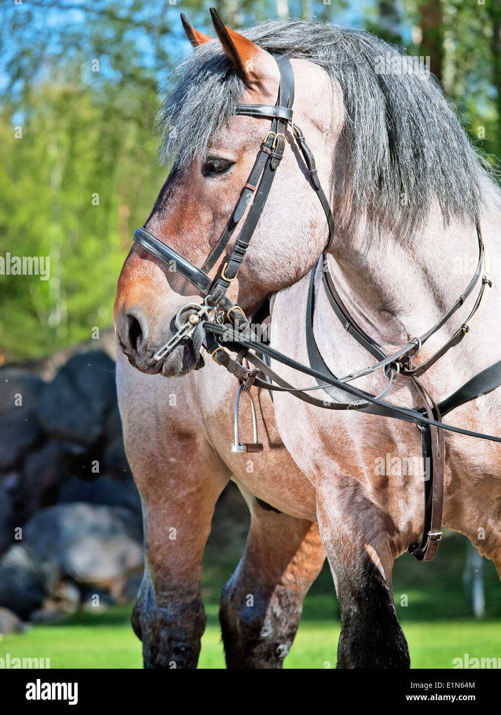 Portrait of Belgian draught horse. - Stock Image